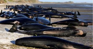 "Beached whales were marked with an ""X"" to indicate they had died"